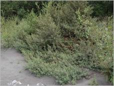 Fig.7- Situation typique en compagnie du saule drapé (Salici-Hippophaetum).