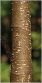Fig.2- Écorce vert brunâtre pourvue de nombreuses lenticelles grisâtres.