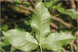 Fig.5- Feuilles vert clair au revers et munies de quelques poils aux abords des nervures.