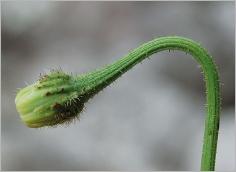 Fig.2- Capitule penché avant floraison.