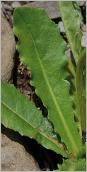 Fig.3- Feuille grossièrement dentée (subsp. hastilis).