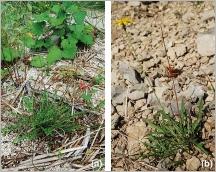 Fig.6- Deux situations typiques sur matériaux grossiers:  (a) subsp. hastilis sur alluvions et (b)subsp. hyoseroides sur éboulis calcaires.