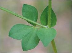 Fig.2- Feuille trifoliée accompagnée de 2stipules simulant des folioles (subsp. corniculatus).