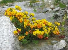 Fig.6- Situation en contexte alluvial sur matériaux grossiers (subsp. alpinus).