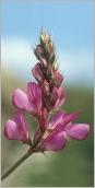 Fig.3- Fleurs rassemblées en grappe courte et dense.