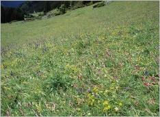 Fig.6- Situation en pelouse sèche montagnarde intra-alpine (Mesobromion).