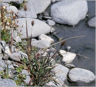 Fig.1- Port cespiteux (subsp. alpinum).