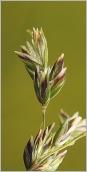 Fig.8- Épillets violacés panachés de blanc et de vert.