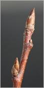 Fig.3- Bourgeons ovoïdes, pointus et rameau de l'année rougeâtre (subsp. borealis).