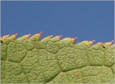 Fig.4- Marge des feuilles finement et régulièrement denticulée.