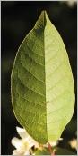 Fig.5- Feuille mate à la face supérieure.