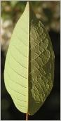 Fig.6- Feuille plus pâle au revers.
