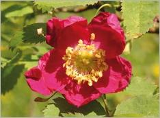 Fig.5- Fleur rouge carmin.