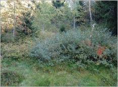 Fig.7- Situation typique en marge d'une tourbière à l'étage montagnard (Frangulo-Salicetum auritae).