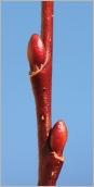 Fig.2- Bourgeons ovoïdes sur rameau de l'année rougeâtre.