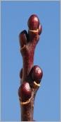 Fig.3- Bourgeons globuleux sur rameau de l'année noirâtre.