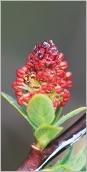 Fig.5- Chaton mâle dense à anthères rougeâtres.