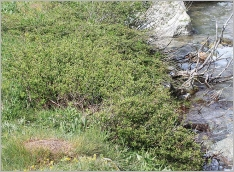 Fig.7- Situation typique aux abords d'un torrent intra-alpin (Salicetum caesio-foetidae).