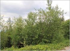 Fig.8- Situation typique au sein d'un groupement arbustif préforestier (Salicetum capreae).