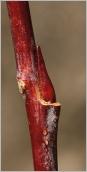 Fig.2- Bourgeon floral comprimé, appliqué sur le rameau.