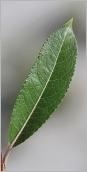 Fig.4- Feuille lancéolée et acuminée, verte et luisante dessus.