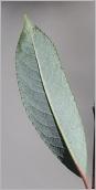 Fig.5- Feuille glauque à blanchâtre au revers.