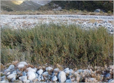 Fig.9- Stade pionnier à Salix daphnoides et Myricaria germanica (Salici-Myricarietum).
