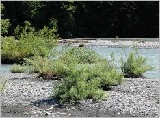 Fig.8- Stade pionnier de la saulaie alluviale sur matériaux grossiers (Salicion elaeagni).