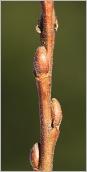 Fig.3- Bourgeons ovoïdes à apex obtus sur rameau de l'année velu.