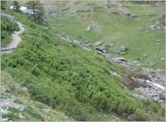 Fig.8- Saulaie buissonnante à Salix foetida et S.hastata sur matériaux grossiers.