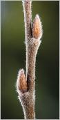 Fig.2- Bourgeons et rameau de l'année très velus, à pilosité allongée.