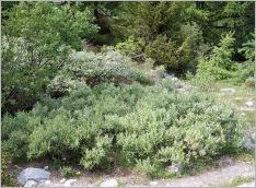 Fig.7- Situation typique au sein d'une brousse subalpine (Salicetum helveticae).