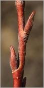 Fig.3- Bourgeons floraux sur rameau de l'année rougeâtre.