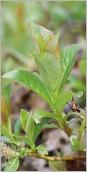 Fig.5- Feuilles matures glabres, glauques au revers.