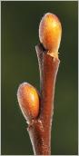 Fig.2- Bourgeons ovoïdes à elliptiques, glabrescents.