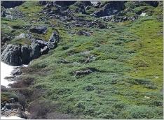 Fig.8- Situation typique (Salicetum helveticae) en mosaïque avec la lande à rhododendron ferrugineux.