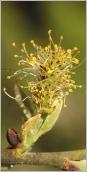 Fig.6- Chaton mâle court et dense.
