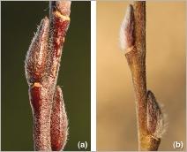 Fig.2- Bourgeons et rameaux de l'année velus :  (a) subsp. alpicola ; (b) subsp. myrsinifolia.
