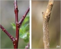 Fig.3- Rameau de 2ans : (a) glabre et brillant chez la subsp. alpicola ; (b) mat et velu chez la subsp. myrsinifolia.