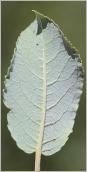 Fig.4- Feuille glauque à nervures velues au revers.