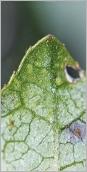 Fig.5- Pointe de la feuille verte dessous, paraissant essuyée.