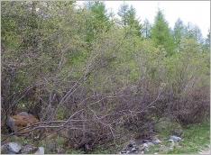 Fig.8- Situation typique (subsp. alpicola) en lisière forestière (Salicetum alpicolae).