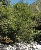 Fig.9- Situation typique en pied de berge sur blocs décimétriques (subsp. myrsinifolia).
