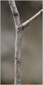 Fig.3- Rameau de 2ans gris.