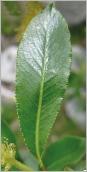 Fig.4- Feuille vert foncé, luisante sur la face supérieure.