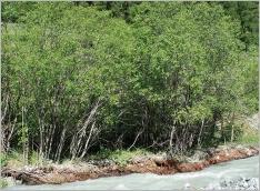 Fig.8- Situation typique au sein d'une aulnaie-saulaie alluviale subalpine sur matériaux grossiers (Alno-Salicetum pentandrae).