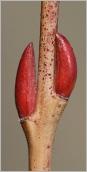 Fig.3- Bourgeons subopposés sur rameau de 2ans (subsp. purpurea).