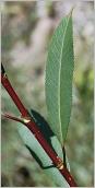 Fig.4- Feuille vert foncé et luisante dessus.