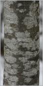 Fig.2- Écorce gris clair devenant gris noirâtre.