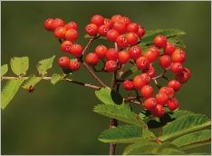 Fig.6- Fruits (sorbes) globuleux, rouge vif à orangés.